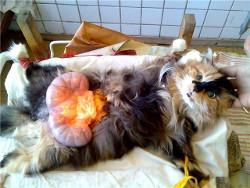 Роды и беременность у кошки
